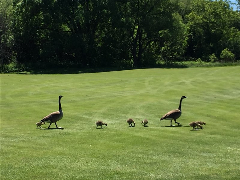 Photos - Golf1 - Canada Geese